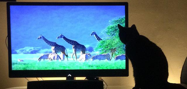 Katt ser på TV